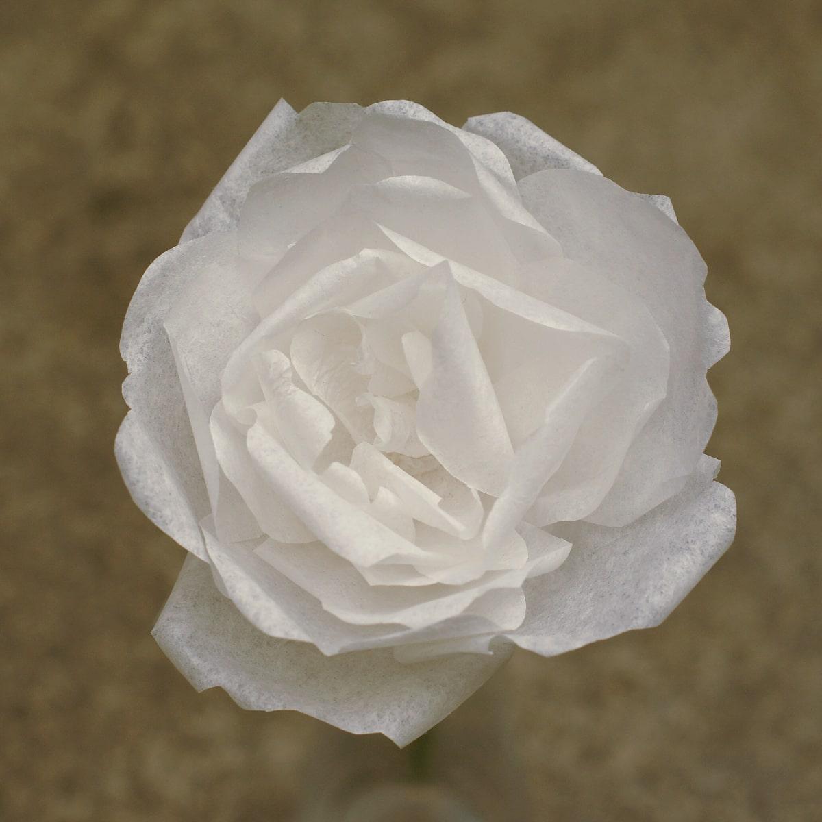 plain paper garden rose