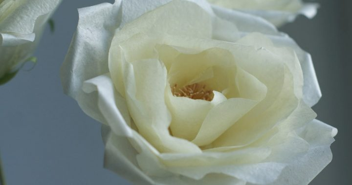 pale yellow paper garden rose