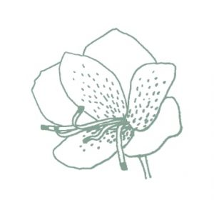 green alstroemeria sketch