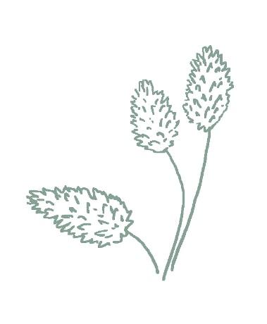 green canary grass sketch